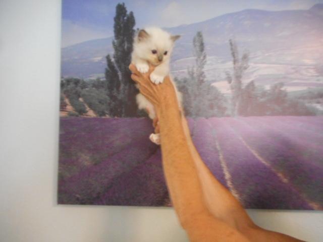 L`Ayquade,kitten